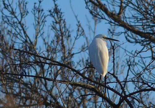 egret nature bird