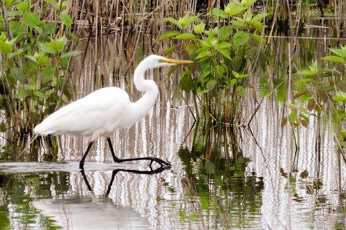 egret wildlife bird