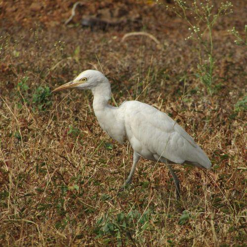 egret india wildlife