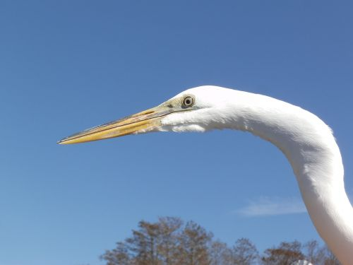 egret white bird water bird