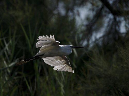 egret  camargue  pont de gau