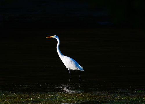 egret birds white