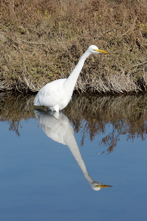 egret  bird  reflection