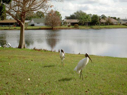 Egret,ežeras,vanduo,gamta,paukštis,laukinė gamta,florida,balta