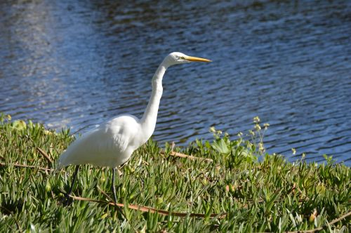 egret white avian
