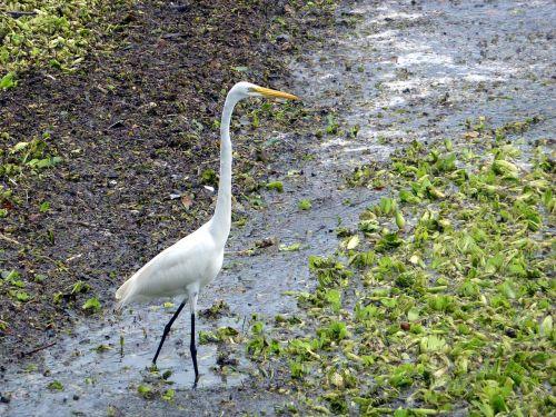 egret bird white