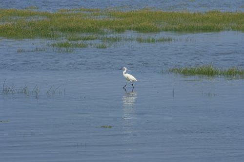 egret wetland taichung