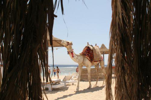 dromedary camel egypt