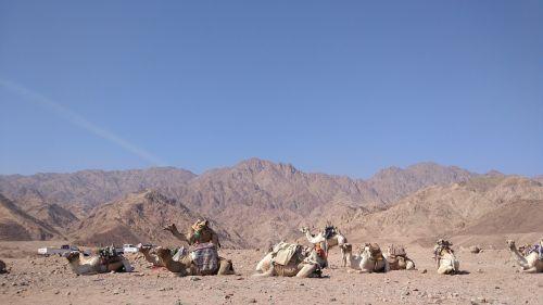 egypt camel desert