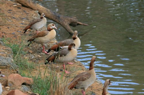Egyptian Geese In A Row
