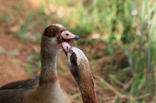 Egyptian Geese Talking