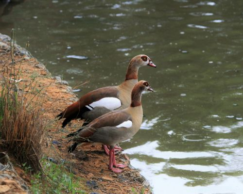 Egyptian Geese Waterfowl