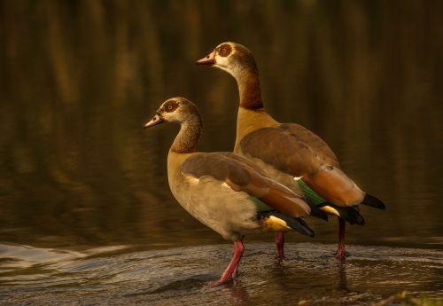 egyptian goose couple pair