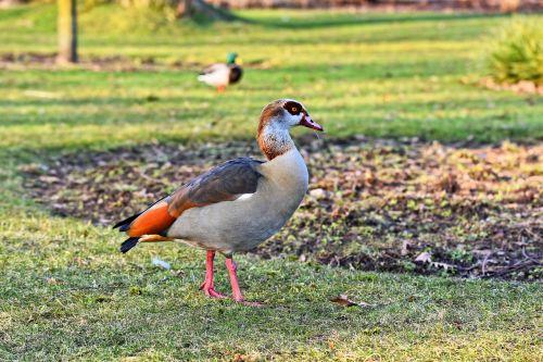 egyptian goose duck bird