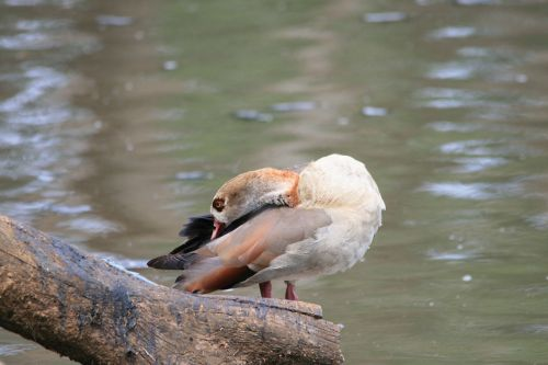 Egyptian Goose At The Waterside