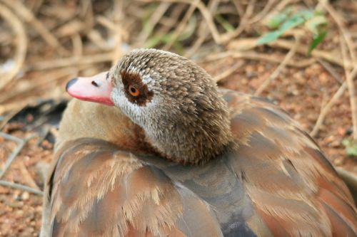 Egyptian Goose  Resting