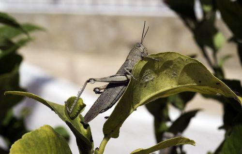 egyptian grasshopper grasshopper anacridium