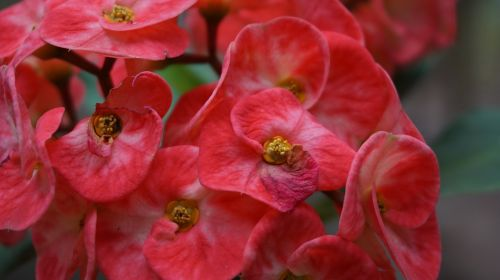 eight immortals flowers red