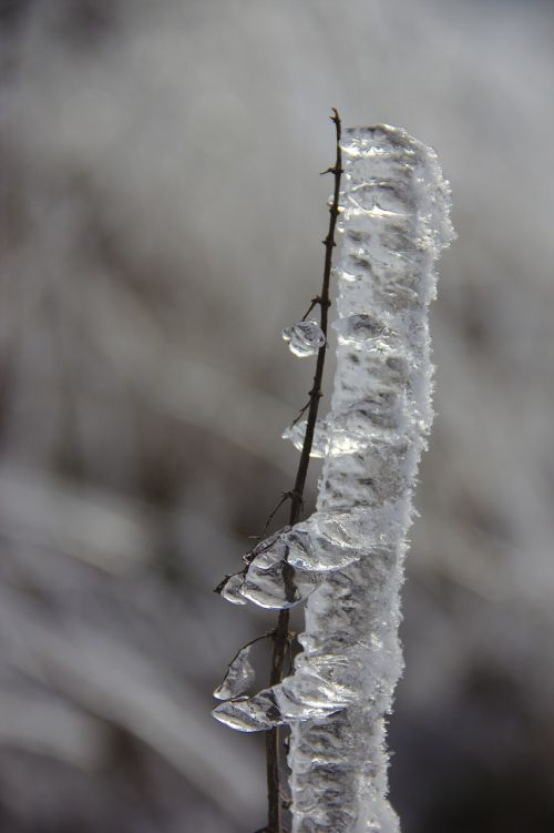 eisraupe ice on the branch iced