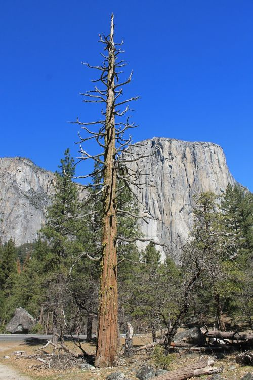 el capitan yosemite tree