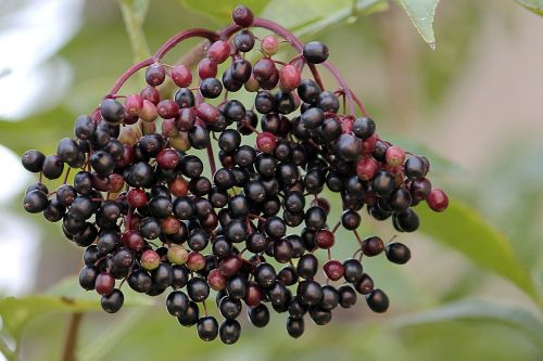 elder elderberries black elderberry