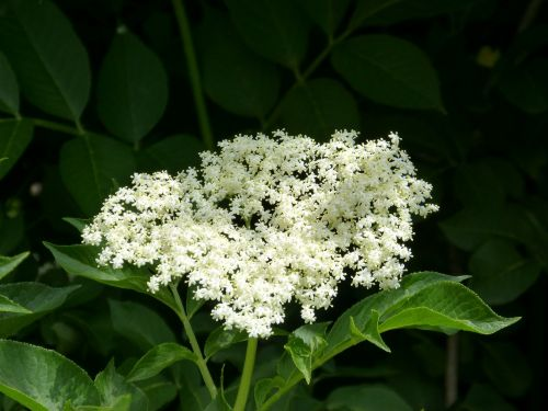 elder elderflower medicinal plants