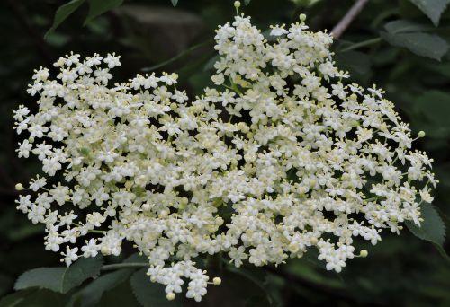 elder sambucus nigra blossom