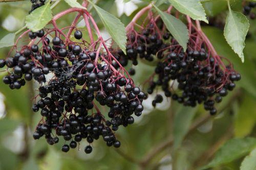 elder black elderberry elderberries
