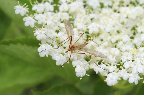 elder mosquito male mosquito