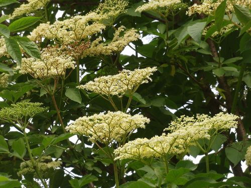 elder wild plant holler