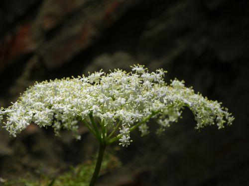 elder blossom bloom