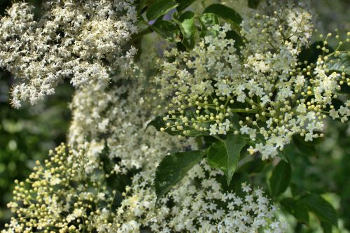 elder flowers bud
