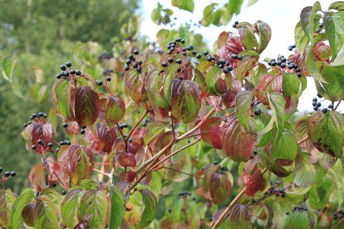 elder autumn berries