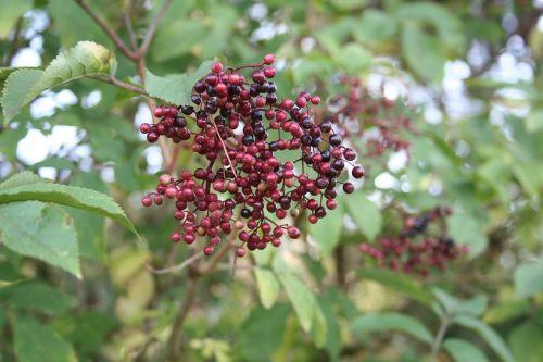 elder elderberry flower holder bush