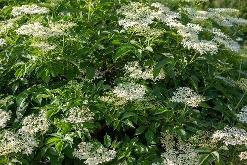 elder  wild elderberry  elderberry shrub
