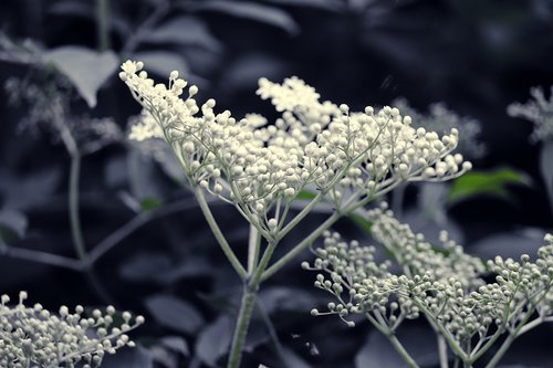 elder  elderflower  white