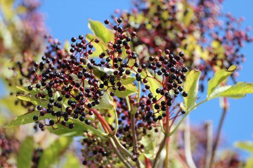 elder black elderberry sambucus nigra