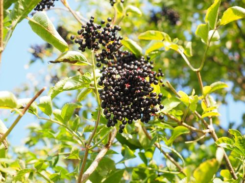 elder elderberries berries