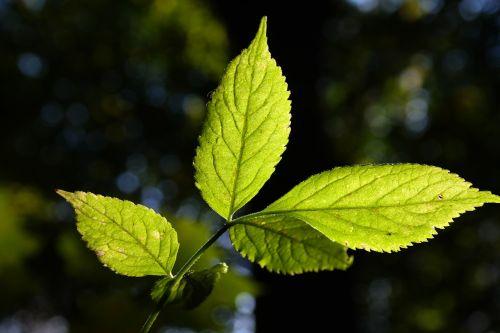 elder leaf green bright