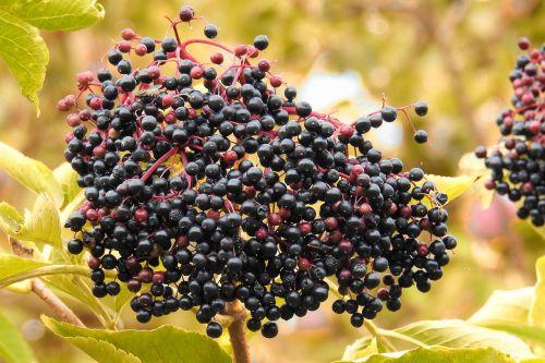elderberries elder black elderberry