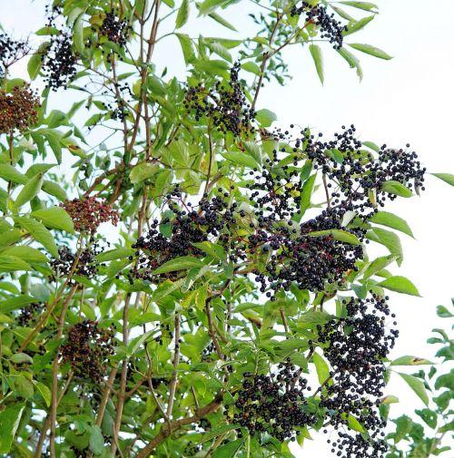 elderberries black elderberry lilac berries