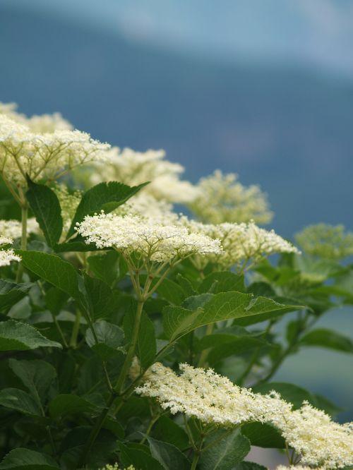 elderberry flower white black elderberry