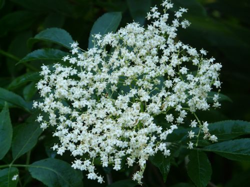 elderberry flower black elderberry blossom