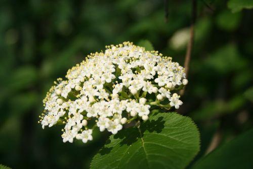 vyšnių gėlė,žiedadulkės,žiedas,žydėti,krūmas,gėlė,pavasaris,pistil,Uždaryti,geltona,bičių žiedadulkės,balta,augalas,gamta,pakilo