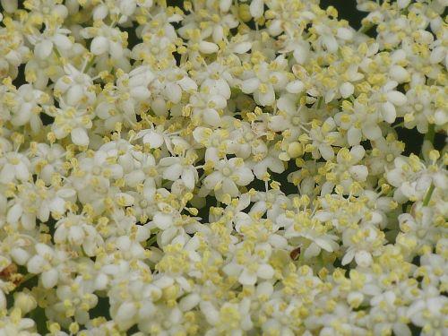 elderflower background blossom