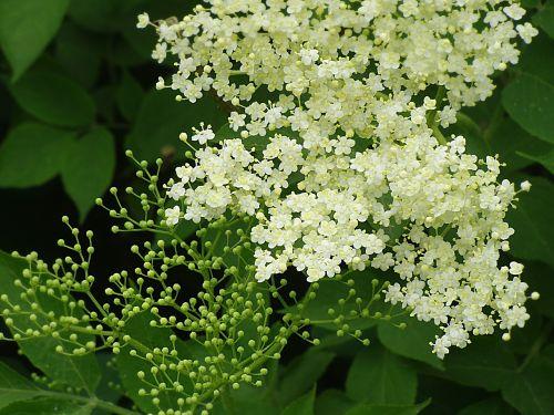 elderflower holler sambucus nigra
