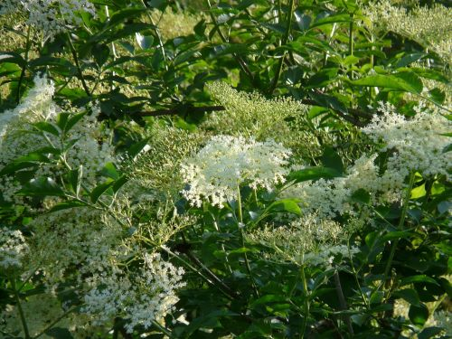 elderflower black elderberry blossom