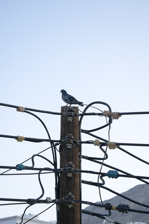 electric post  wooden post  pigeon