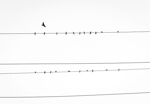 electrical line birds electrical wires