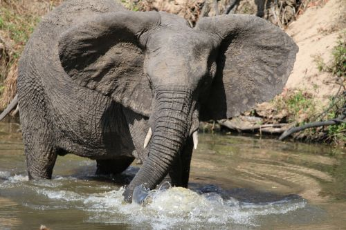 elephan bathing animal